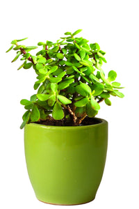 Rolling Nature Good Luck  Jade Plant in Green Pear Ceramic Pot