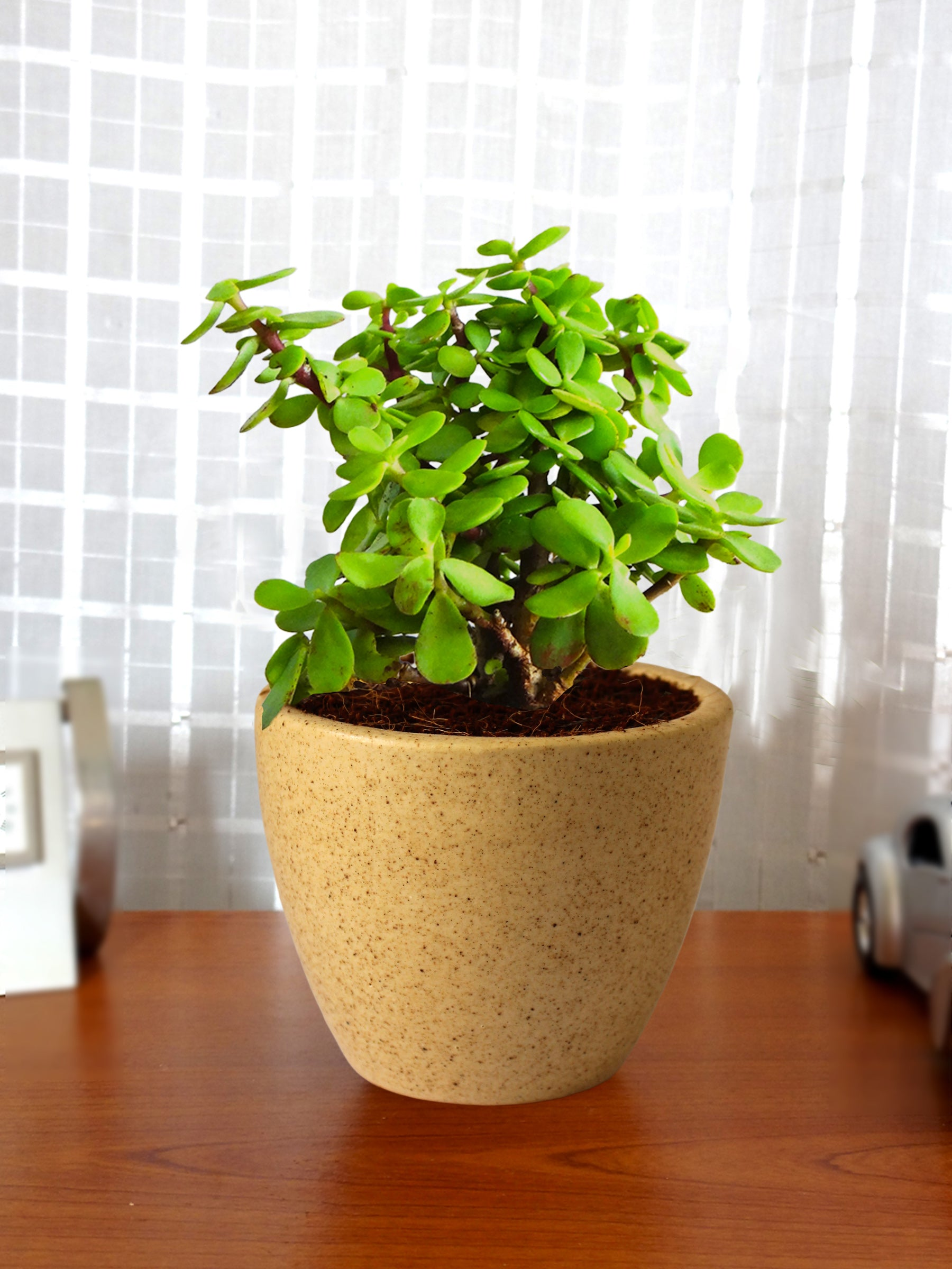 Good Luck Jade Plant in Brown Round Dew Ceramic Pot
