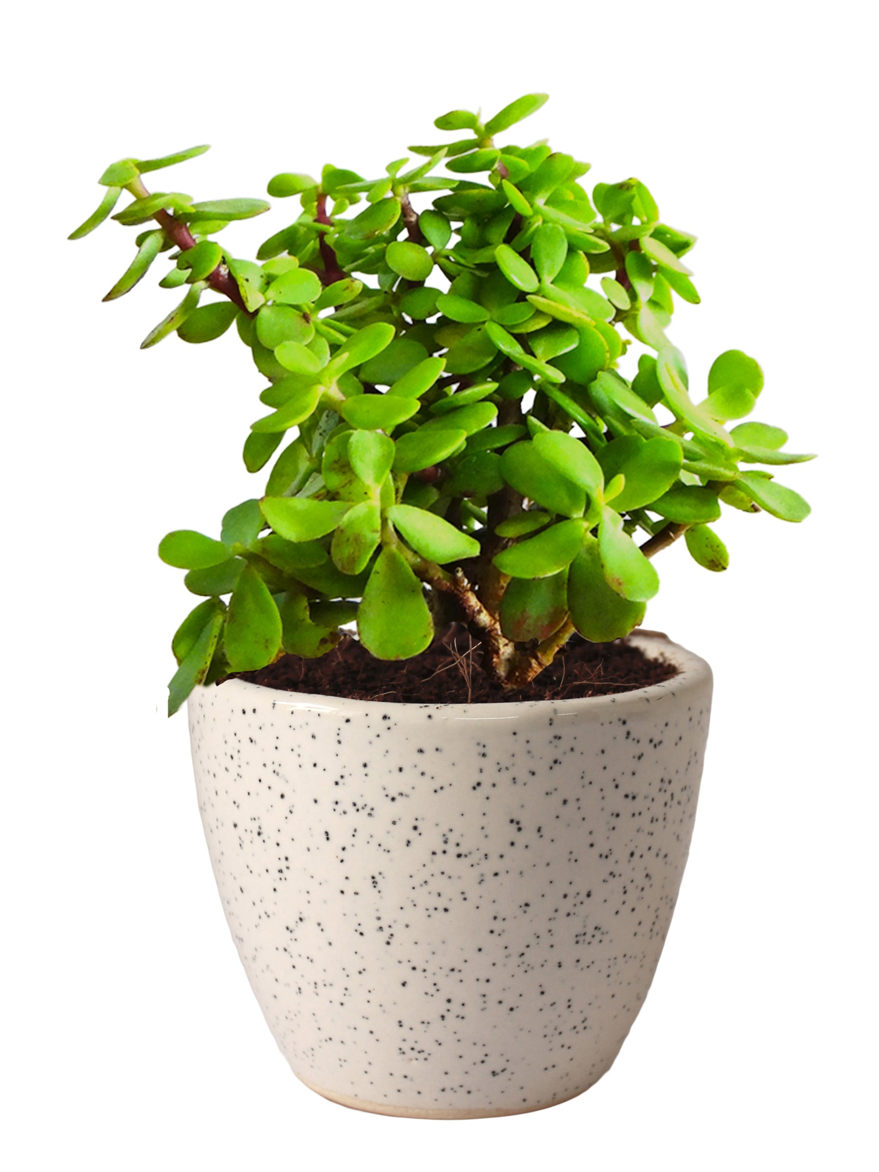 Good Luck Jade Plant in White Round Dew Ceramic Pot