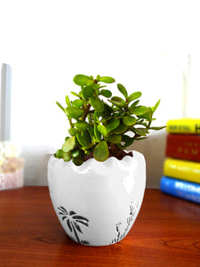 Good Luck Live Jade Plant in White Ruffel Aroez Ceramic Pot