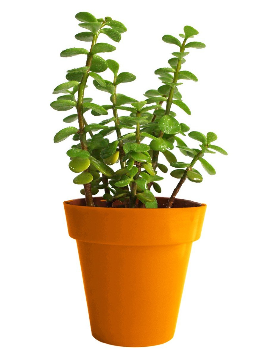 Good Luck Jade Plant in Small Orange Colorista Pot