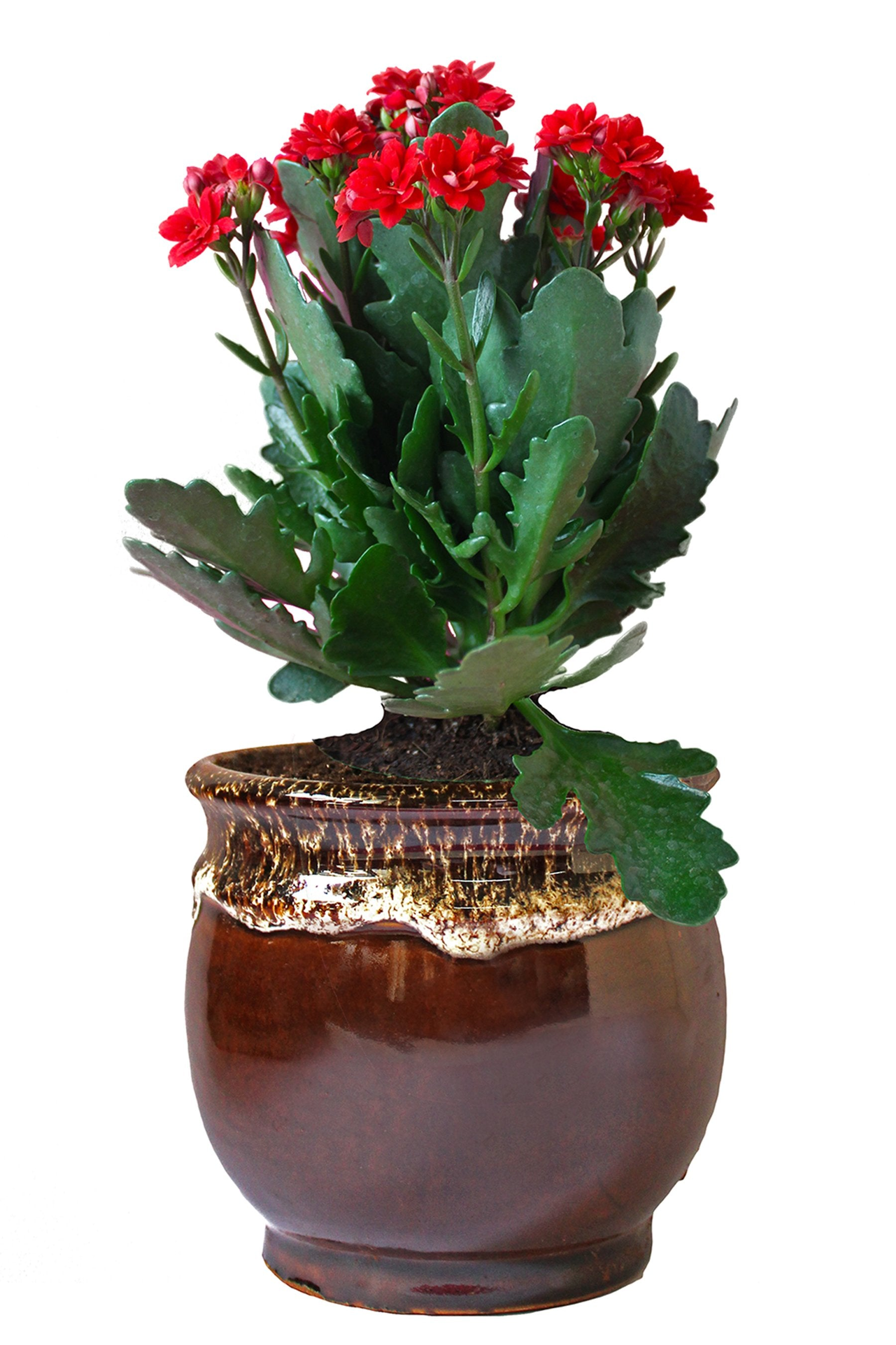Rolling Nature Kalanchoe Flowering Plant in Brown Drip Glazed Pitcher Ceramic Pot