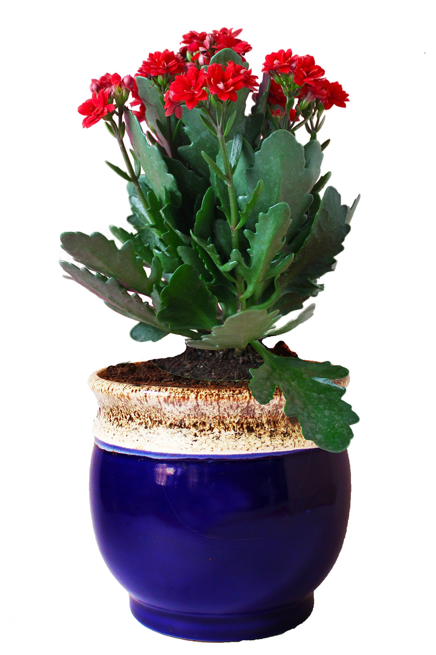 Rolling Nature Kalanchoe Flowering Plant in Blue Drip Glazed Pitcher Ceramic Pot