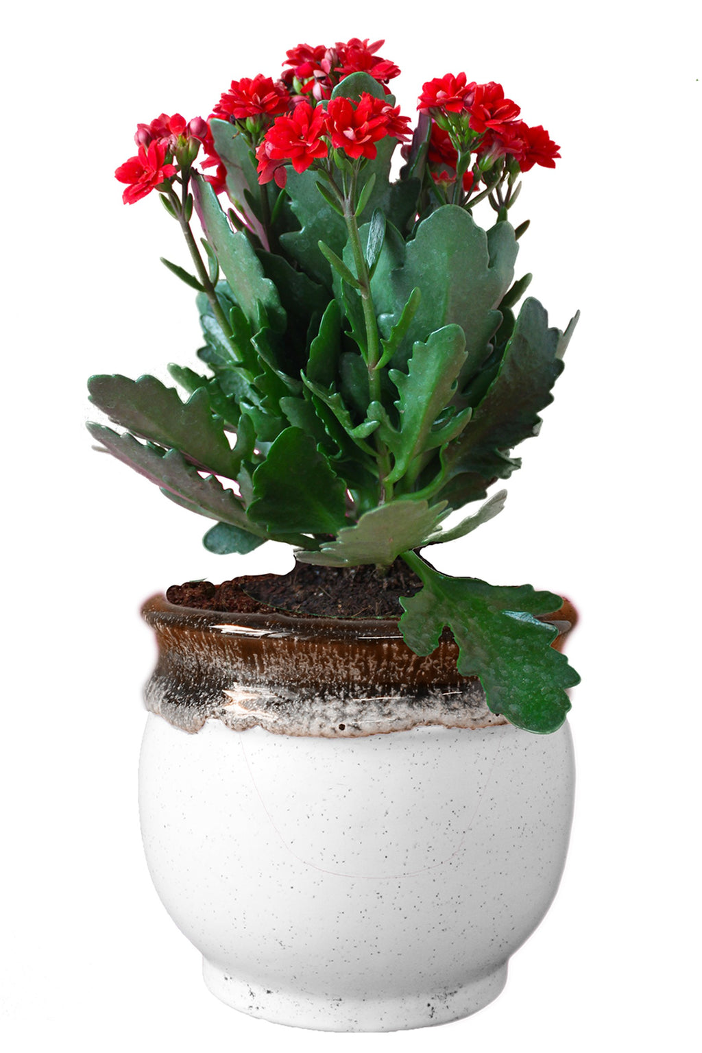 Rolling Nature Kalanchoe Flowering Plant in White Drip Glazed Pitcher Ceramic Pot