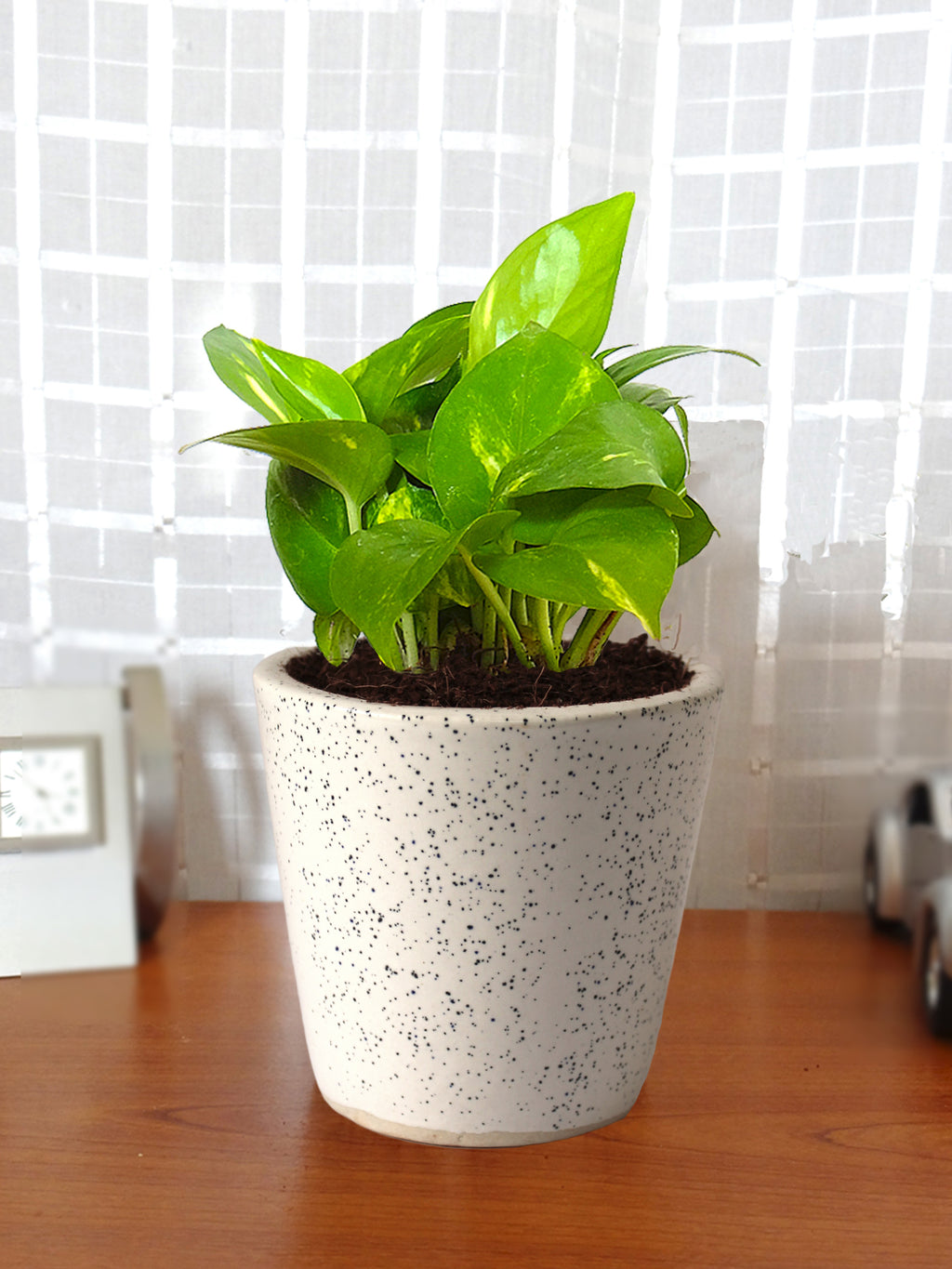 Good Luck Air Purifying Live Money Plant in White Bucket Dew Ceramic Pot