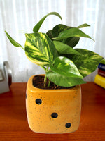 Good Luck Air Purifying Money Plant in Yellow Dice Ceramic Pot
