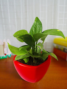 Good Luck Air Purifying Money Plant in Red Heart Ceramic Pot