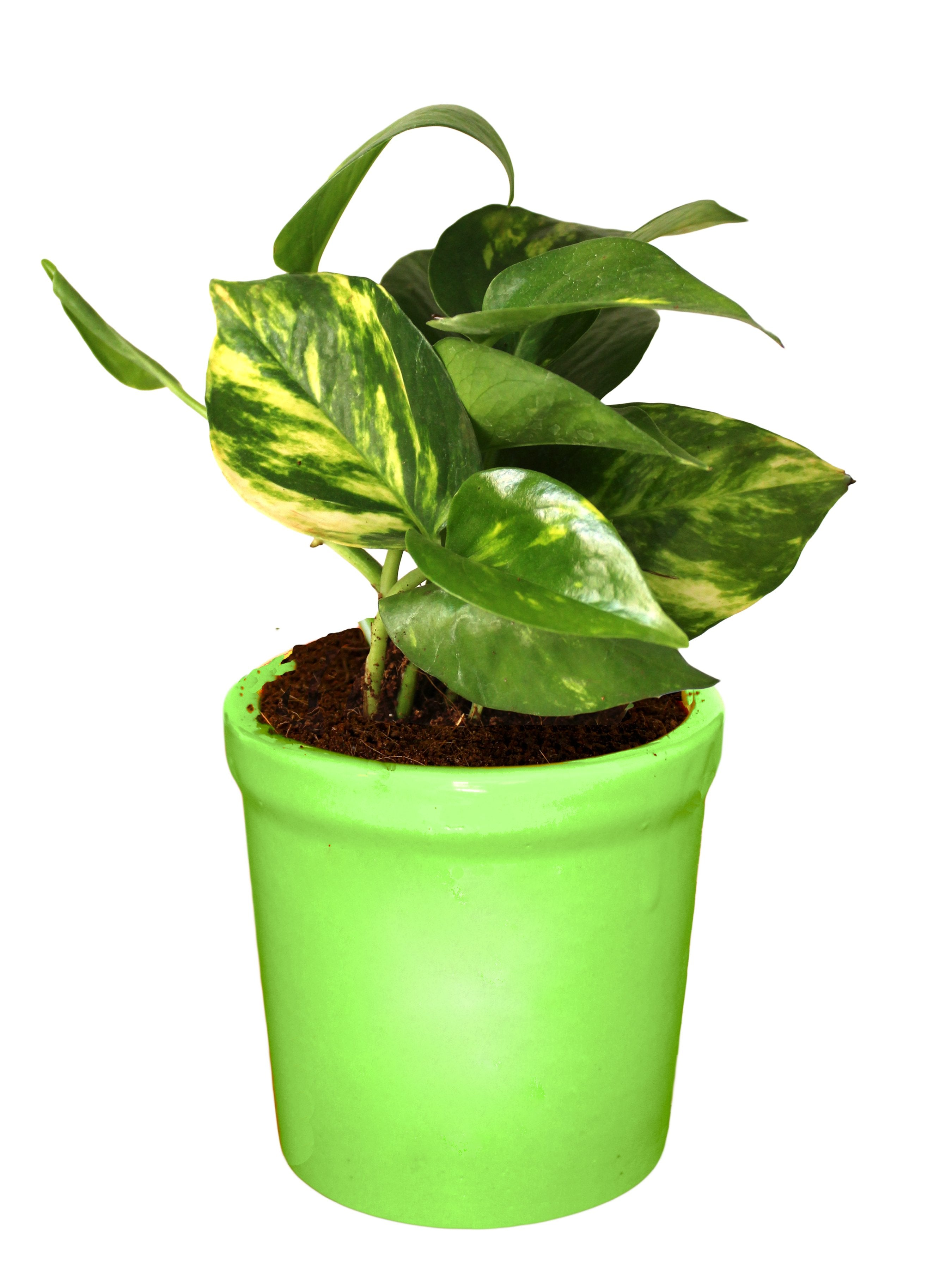 Rolling Nature Good Luck Air Purifying Live Money Plant in Green Jar Ceramic Pot