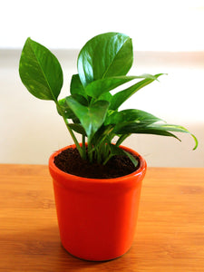 Good Luck Air Purifying Money Plant in Orange Jar Ceramic Pot
