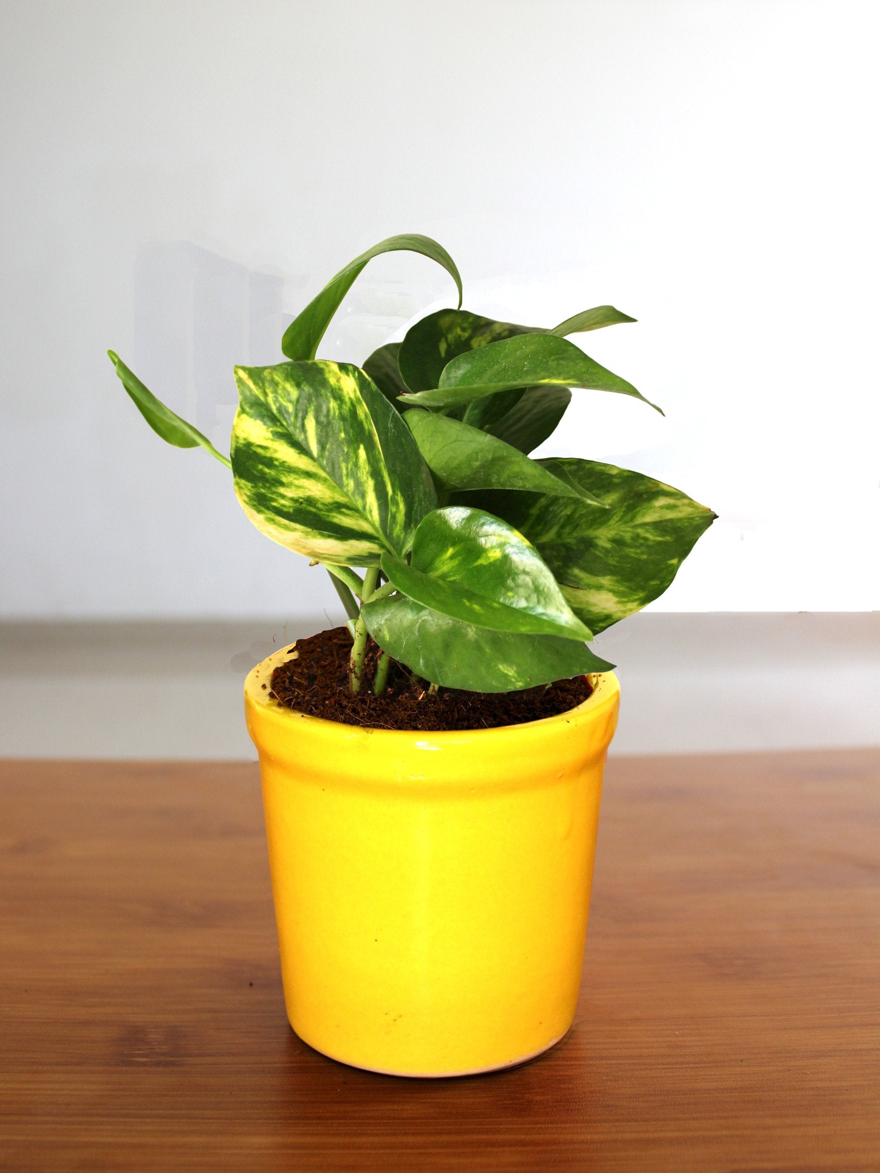 Good Luck Air Purifying Money Plant In Yellow Jar Ceramic