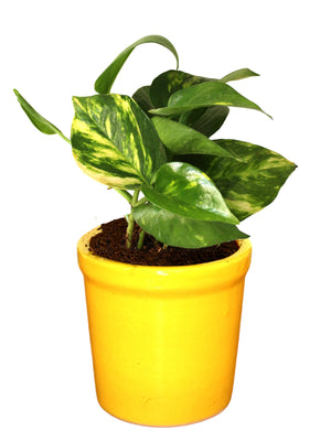 Good Luck Air Purifying Money Plant in Yellow Jar Ceramic Pot