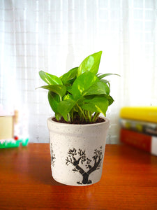 Good Luck Air Purifying Live Money Plant in White Jar Aroez Ceramic Pot