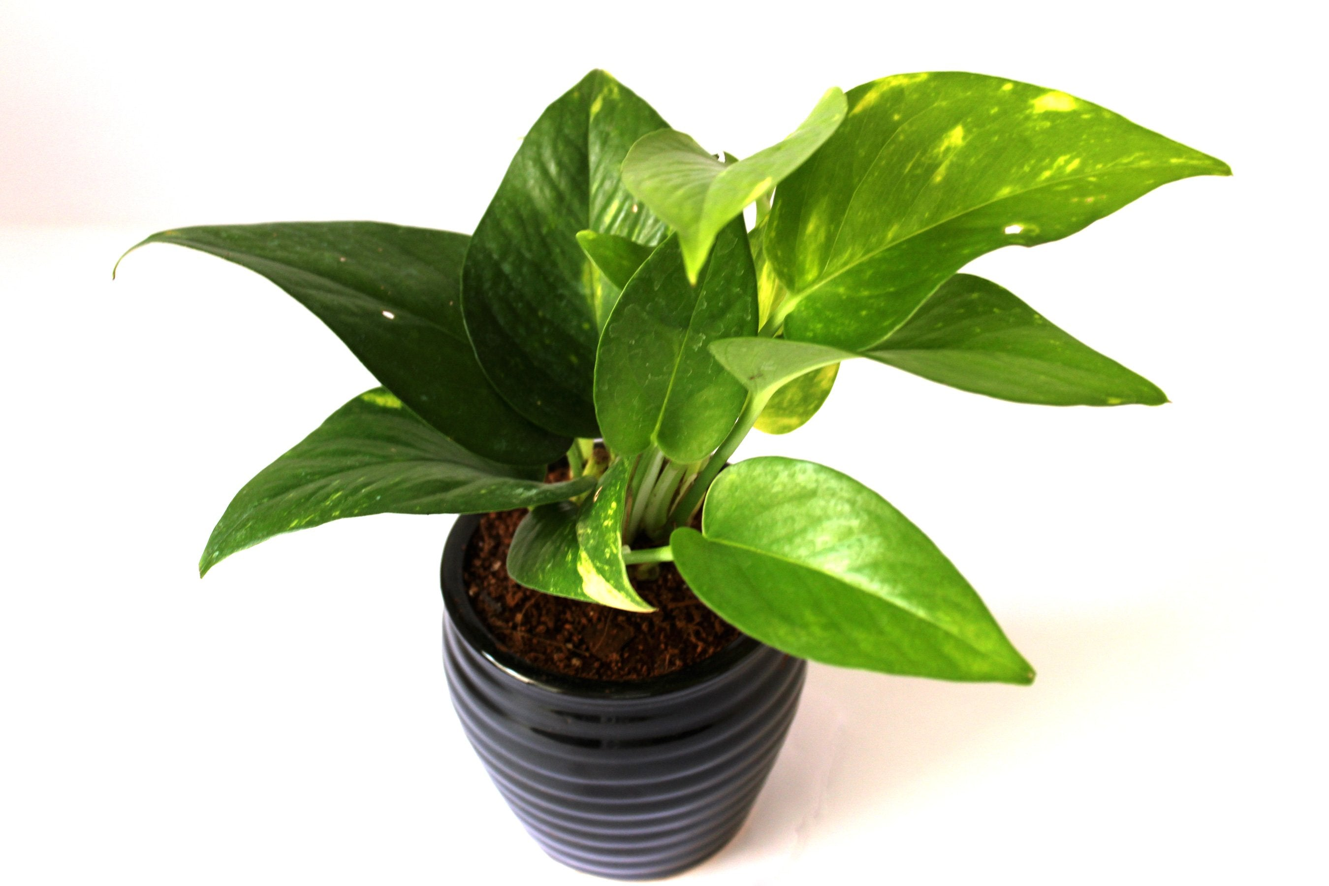 Rolling Nature Good Luck Air Purifying Money Plant in Black Ceramic Pot