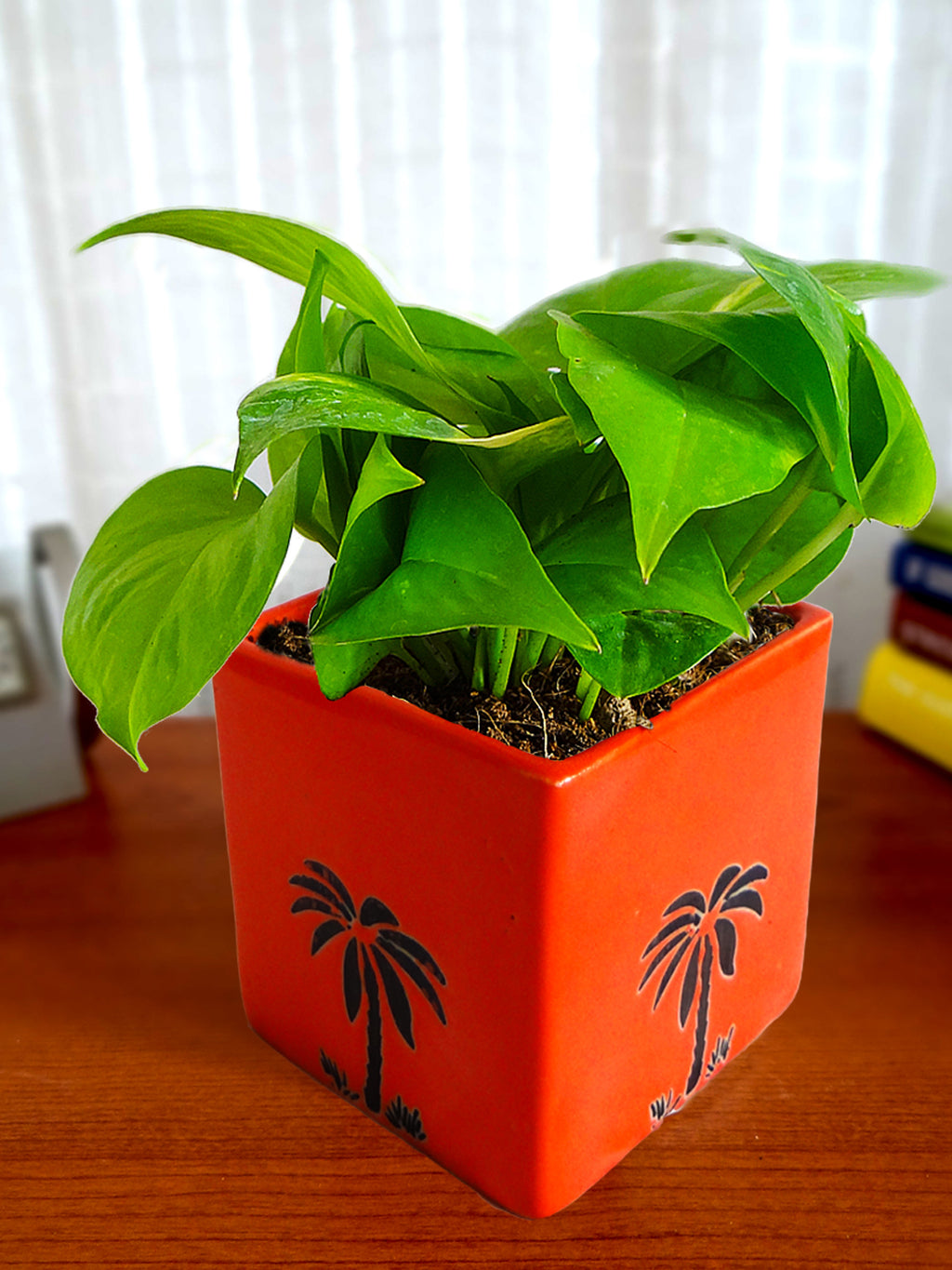 Good Luck Money Plant in Orange Cube Aroez Ceramic Pot
