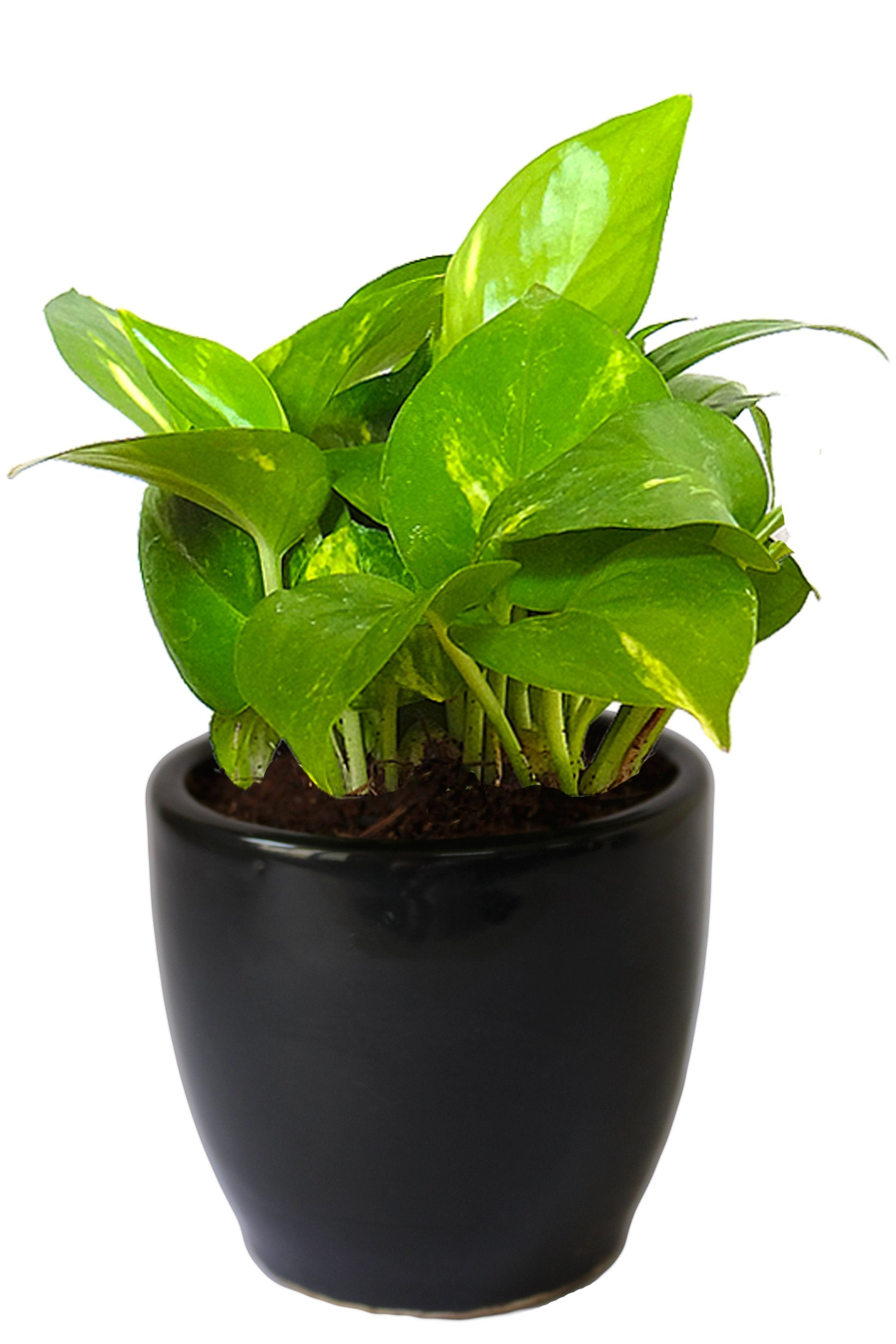 Rolling Nature Good Luck Air Purifying Money Plant in Black Pear Ceramic Pot