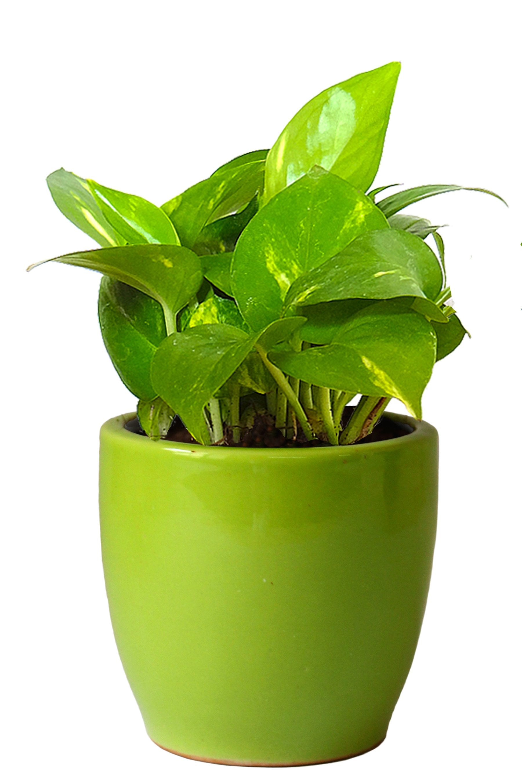Rolling Nature Good Luck Air Purifying Money Plant in Green Pear Ceramic Pot
