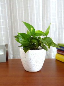 Good Luck Money Plant in White Round Dew Ceramic Pot
