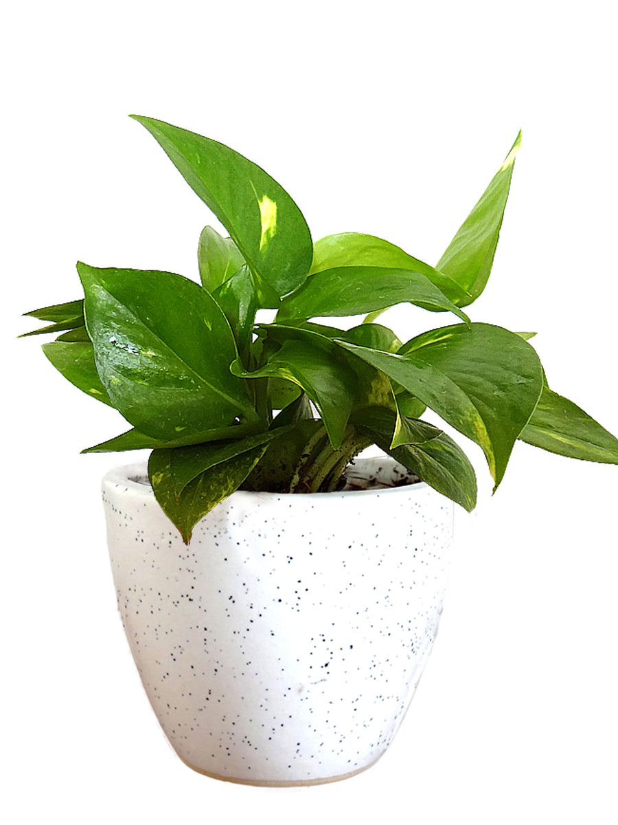 Garden Bush: Good Luck Money Plant In White Round Dew Ceramic Pot