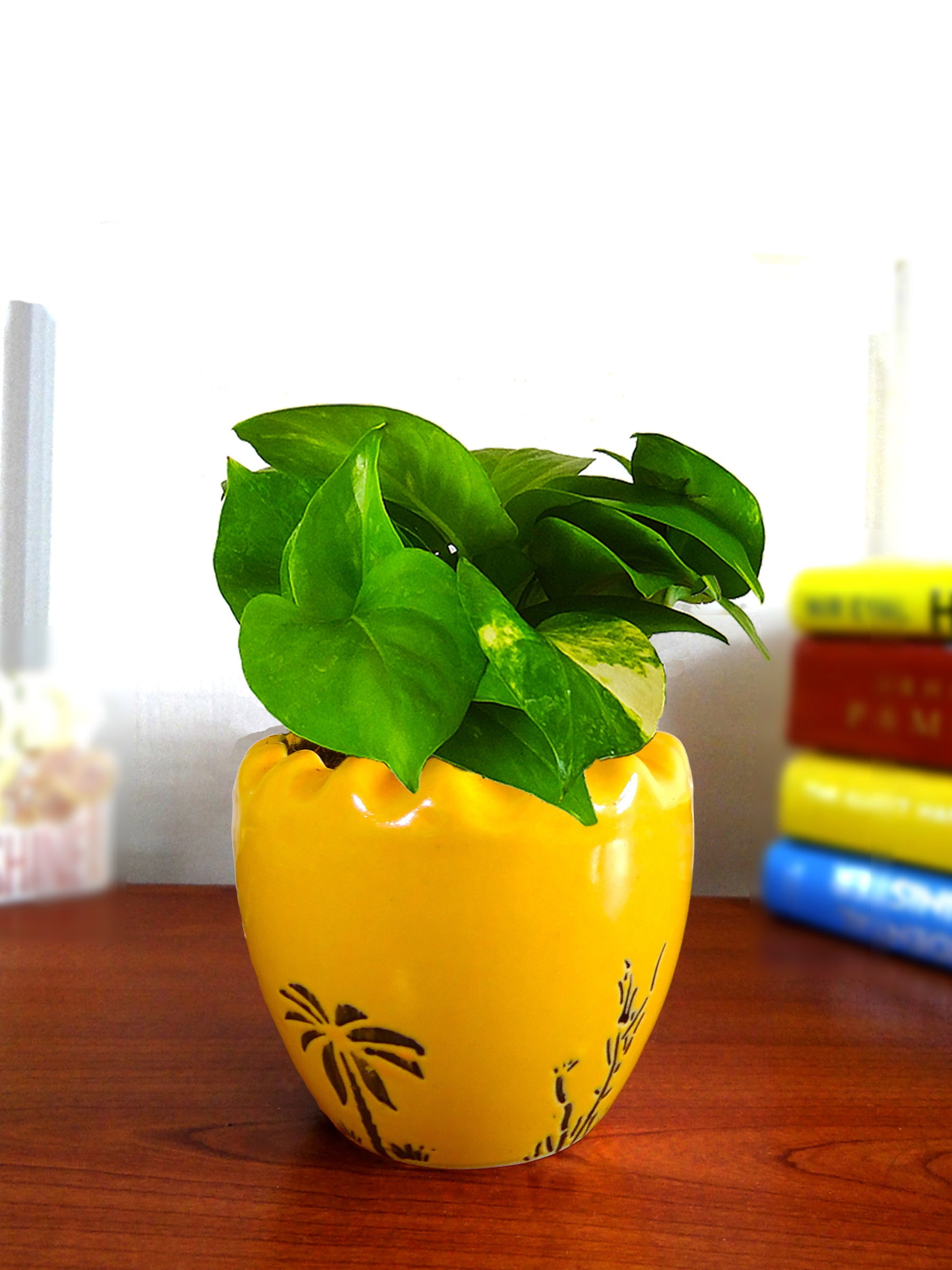 Good Luck Air Purifying Live Money Plant in Yellow Ruffel Aroez Ceramic Pot