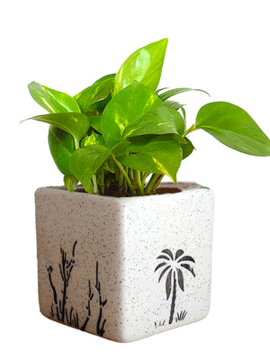 Good Luck Money Plant in White Square Aroez Ceramic Pot
