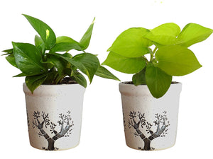 Combo Of Good Luck Air Purifying Live Money Plant and Golden Money Plant in White Jar Aroez Ceramic Pot