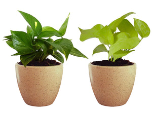 Combo Of Good Luck Air Purifying Live Money Plant and Golden Money Plant in Brown Round Dew Ceramic Pot