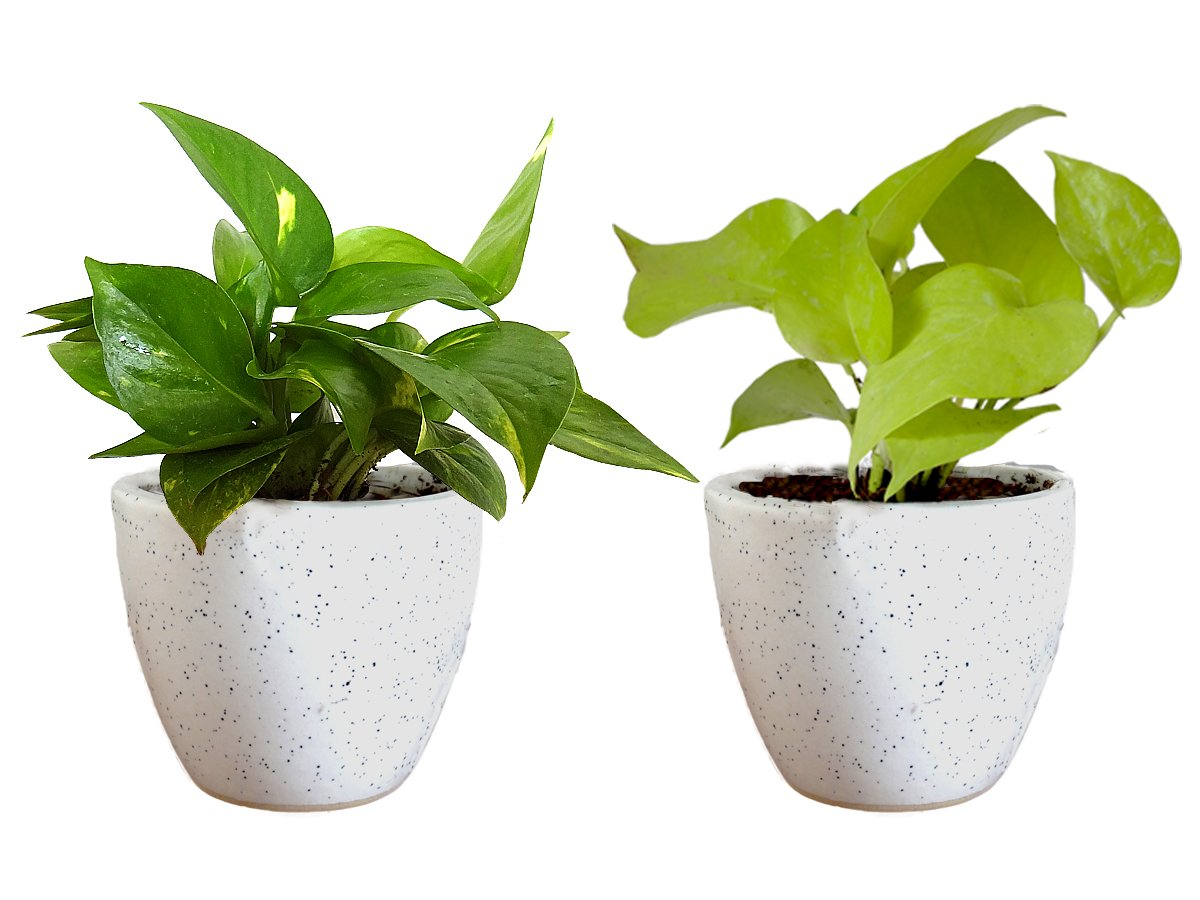 Combo Of Good Luck Air Purifying Live Money Plant and Golden Money Plant in White Round Dew Ceramic Pot