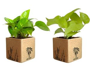 Combo Of Good Luck Air Purifying Live Money Plant and Golden Money Plant in Brown Square Aroez Ceramic Pot