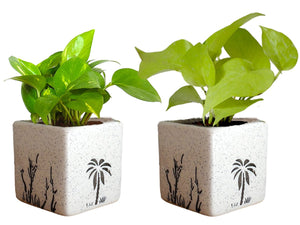 Combo Of Good Luck Air Purifying Live Money Plant and Golden Money Plant in White  Square Aroez Ceramic Pot