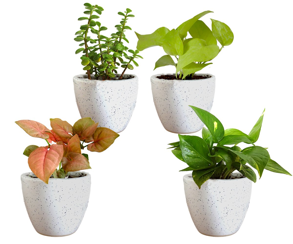 Combo Of Good Luck Air Purifying Live Money Plant Golden Pothos Syngonium Pink and Jade in White Round Dew Ceramic Pot