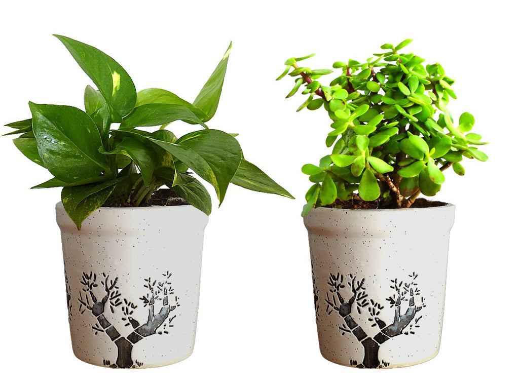 Combo Of Good Luck Live Money Plant and Jade Plant White Jar Aroez Ceramic Pot