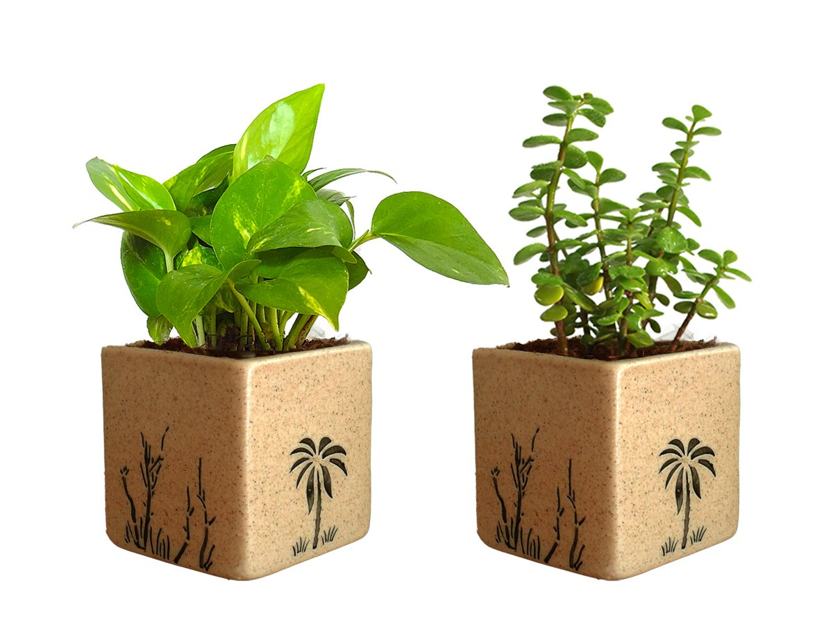 Combo Of Good Luck Live Money Plant and Jade Plant in Brown Square Aroez Ceramic Pot