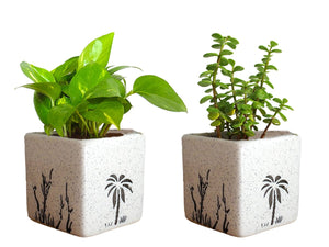 Combo Of Good Luck Live Money Plant and Jade Plant in White  Square Aroez Ceramic Pot