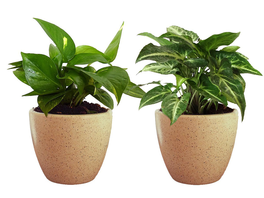 Combo Of Good Luck Air Purifying Live Money Plant and Syngonium Green Plant in Brown Round Dew Ceramic Pot