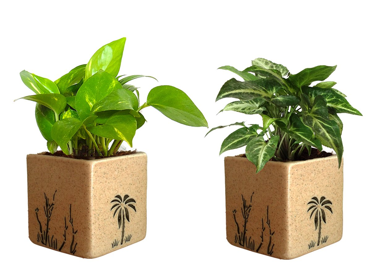 Combo Of Good Luck Air Purifying Live Money Plant and Syngonium Green Plant in Brown Square Aroez Ceramic Pot