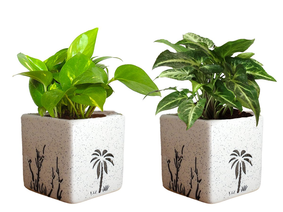 Combo Of Good Luck Air Purifying Live Money Plant and Syngonium Green Plant in White Square Aroez Ceramic Pot