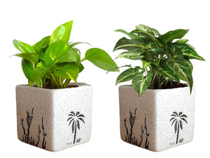 Air Purifying Good Luck Live Natural Plants in Exquisite Ceramic Pots. Best Indoor Plants online in India. Best green gifts for corporate or any occasions. Love plants as gifts. Money Plant Syngonium shipped all over India.