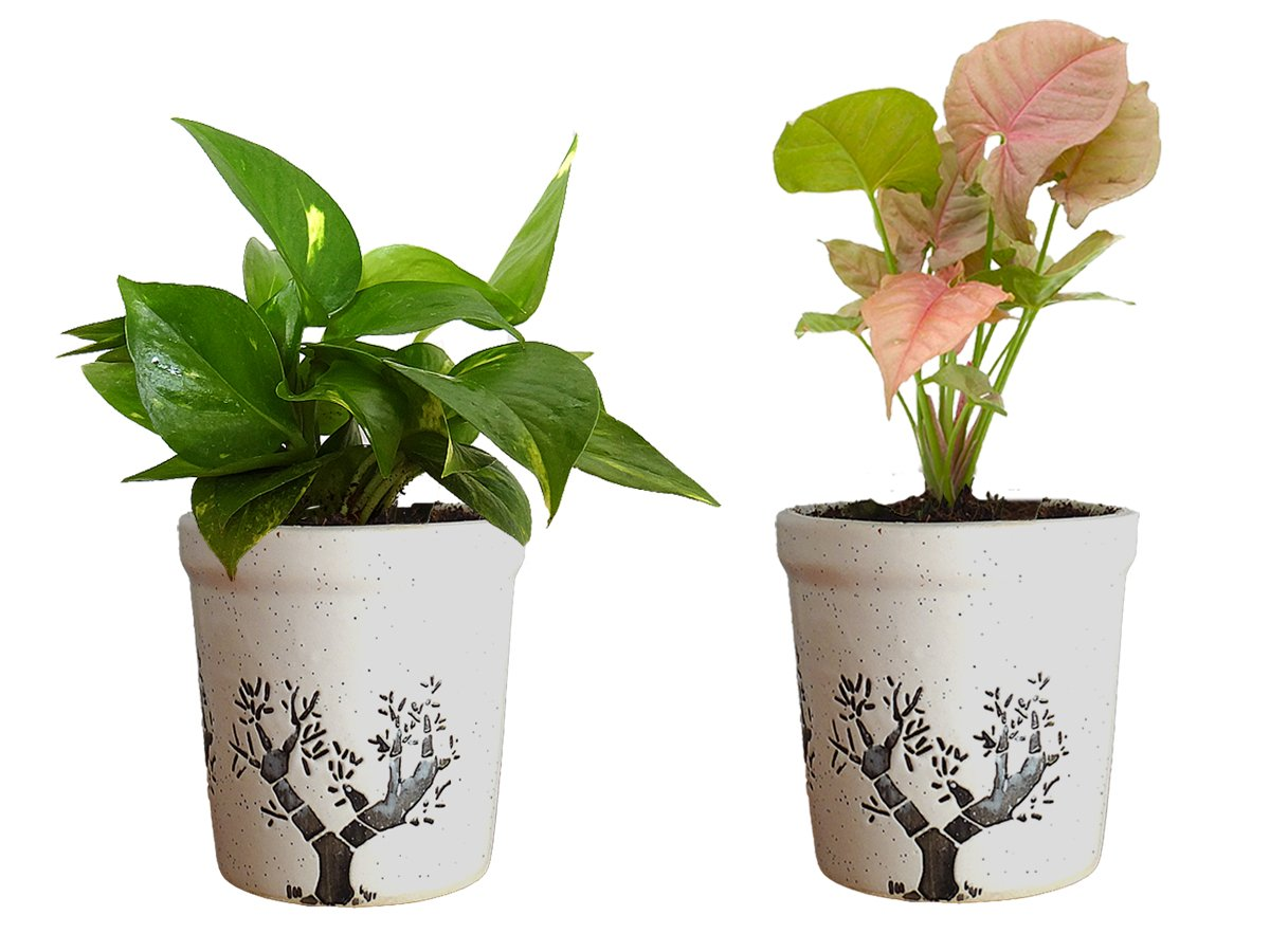 Combo Of Good Luck Air Purifying Live Money Plant and Syngonium Pink Plant in White Jar Aroez Ceramic Pot