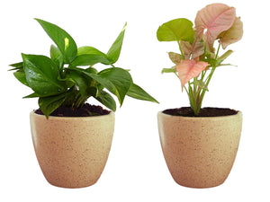 Combo Of Good Luck Air Purifying Live Money Plant and Syngonium Pink Plant in Brown Round Dew Ceramic Pot