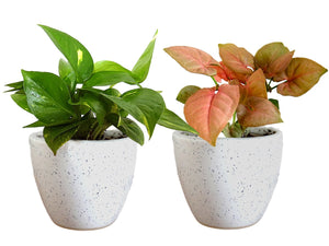 Combo Of Good Luck Air Purifying Live Money Plant and Syngonium Pink Plant in White Round Dew Ceramic Pot