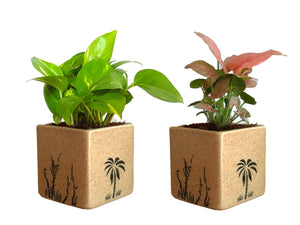 Combo Of Good Luck Air Purifying Live Money Plant and Syngonium Pink Plant in Brown Square Aroez Ceramic Pot