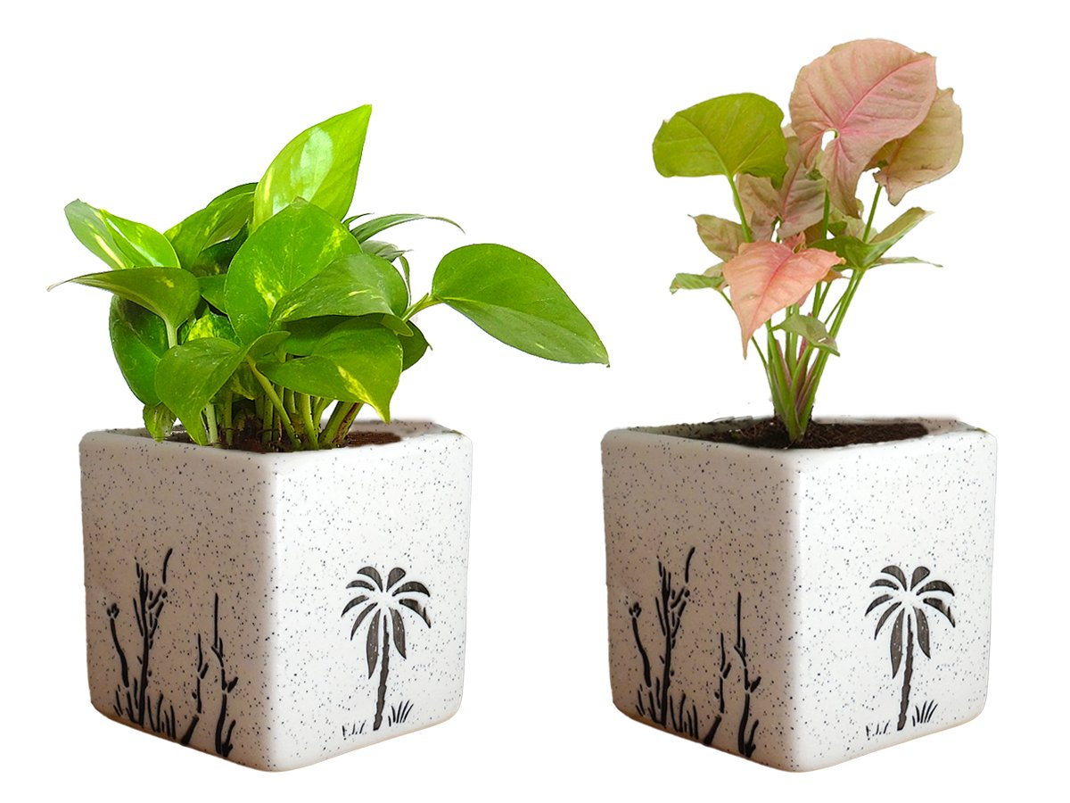 Combo Of Good Luck Air Purifying Live Money Plant and Syngonium Pink Plant in White Square Aroez Ceramic Pot