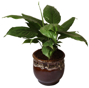 Rolling Nature Good Luck and Air Purifying Peace Lily Plant in Brown Drip Glazed Pitcher Ceramic Pot