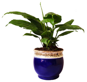 Rolling Nature Good Luck and Air Purifying Peace Lily Plant in White Drip Glazed Pitcher Ceramic Pot
