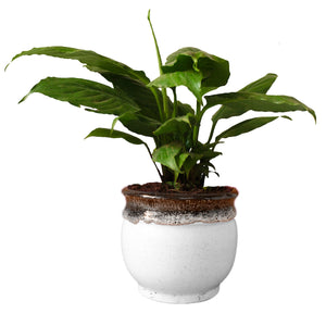 Rolling Nature Good Luck and Air Purifying Peace Lily Plant in Blue Drip Glazed Pitcher Ceramic Pot