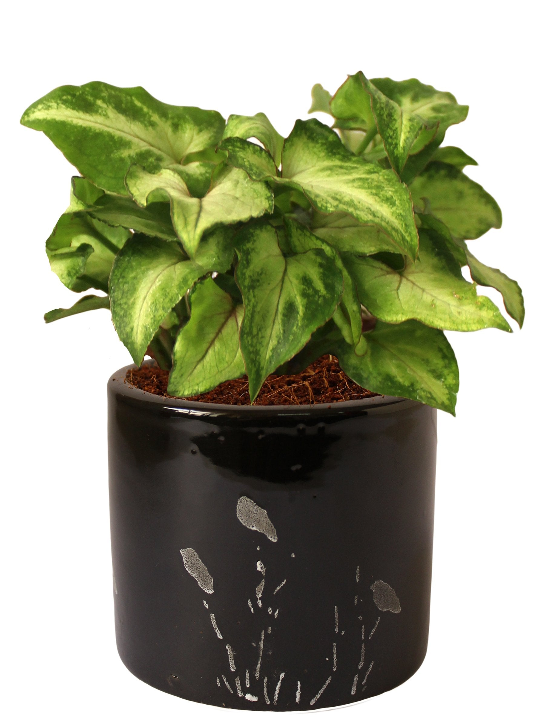Rolling Nature Good Luck Air Purifying Live Green Syngonium Plant in Black Barrel Aroez Ceramic Pot