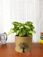 Air Purifying Good Luck Live Green Syngonium Plant in Brown Barrel Aroez Ceramic Pot