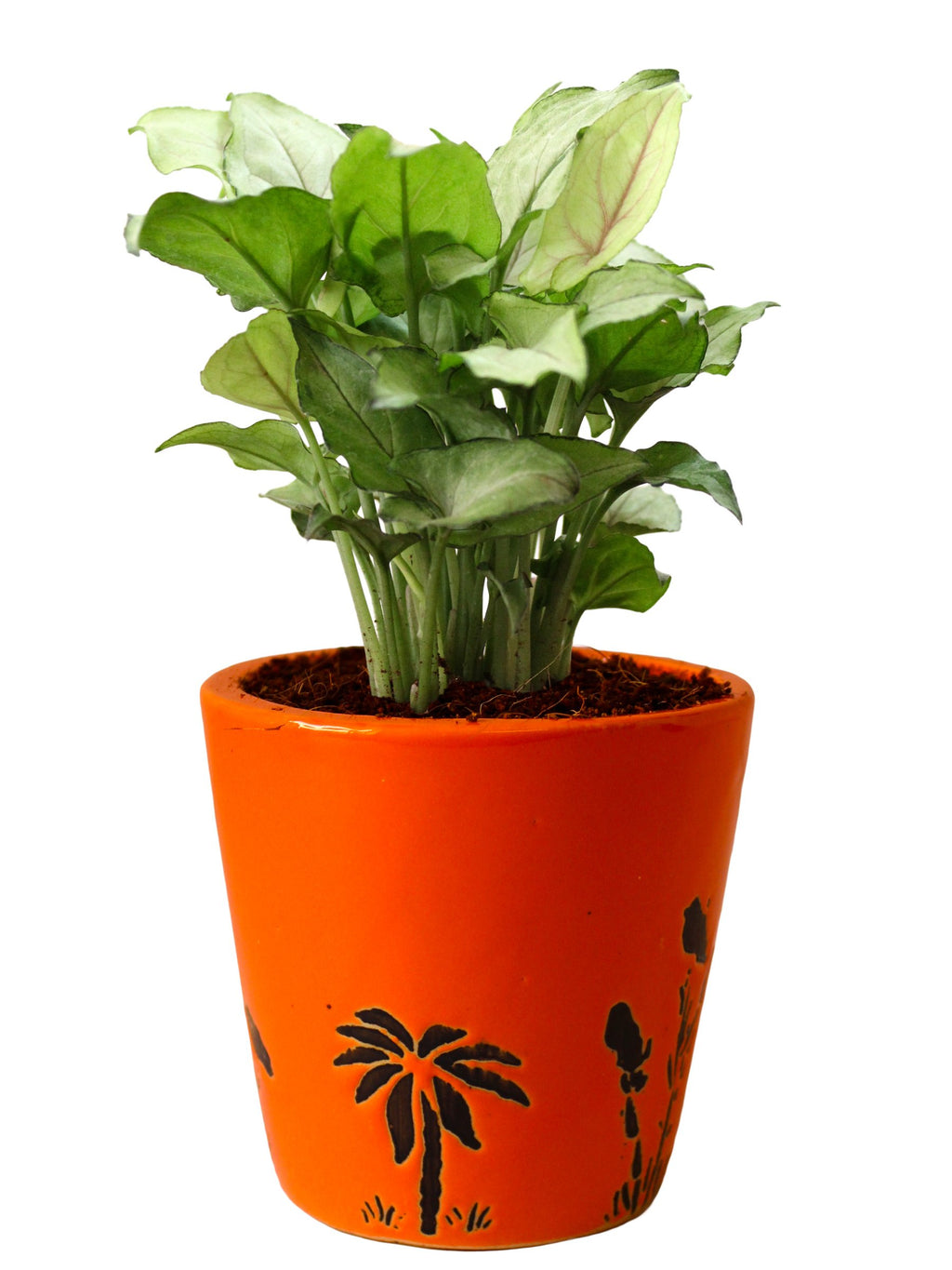 Rolling Nature Good Luck Air Purifying Live Green Syngonium Plant in Orange Bucket Aroez Ceramic Pot