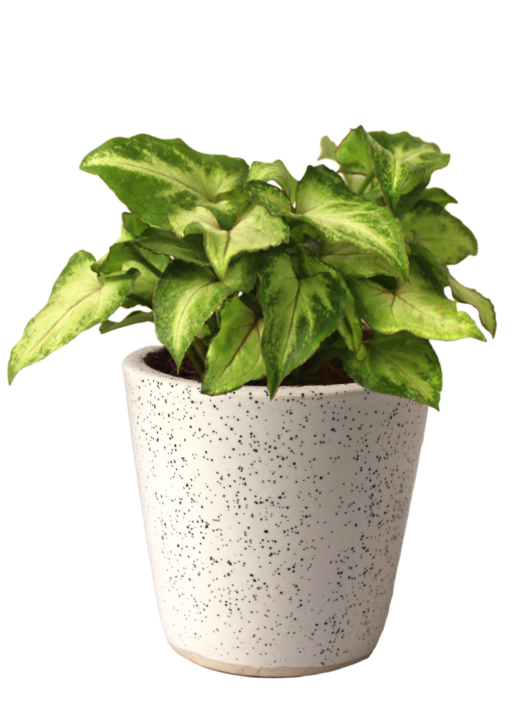 Good Luck Air Purifying Live Green Syngonium Plant in White Bucket Dew Ceramic Pot