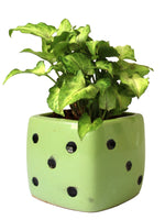 Good Luck Air Purifying Green Syngonium Plant In Green Dice Ceramic Pot